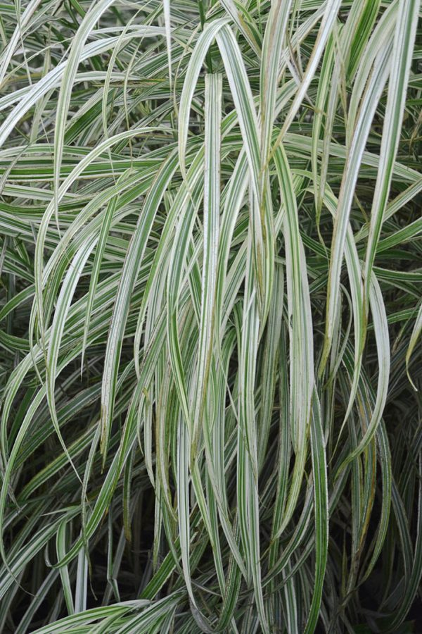 Variegated eulalia or japanese silver grass vinland for Variegated grass plant