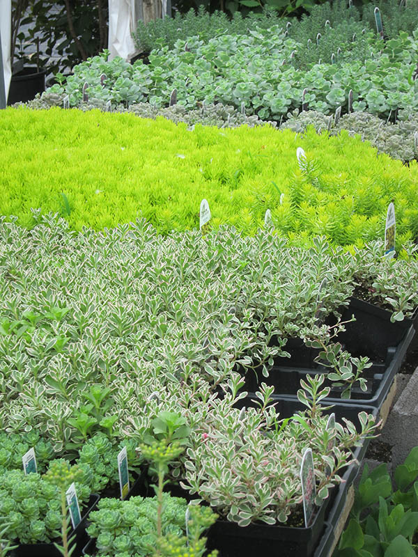 Type Groundcover Low Maintenance Lawn Perennial Succulent Notable Traits Attracts Erflies Pollinators Excellent Edging Plant Green Roof
