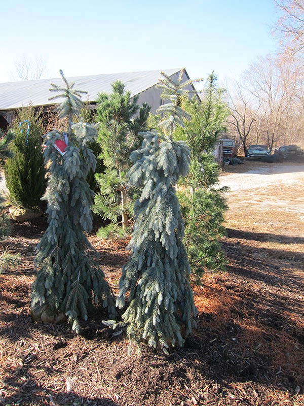 Colorado Blue Spruce Vinland Valley Nursery