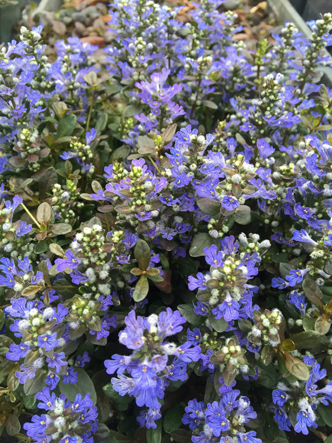 Type Groundcover Low Maintenance Lawn Perennial Notable Traits Attracts Erflies Pollinators Excellent Edging Plant Fast Growing Heat Tolerant