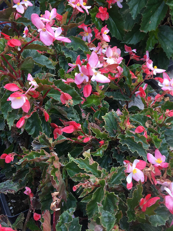 Begonia Angel Wing Vinland Valley Nursery