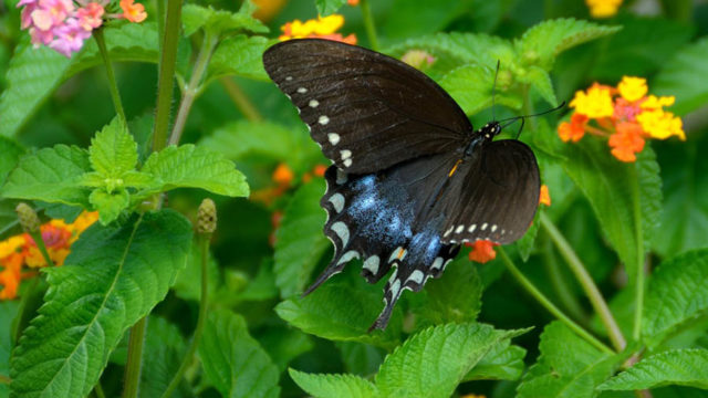 Plant A Family Friendly Cafeteria For Swallowtail
