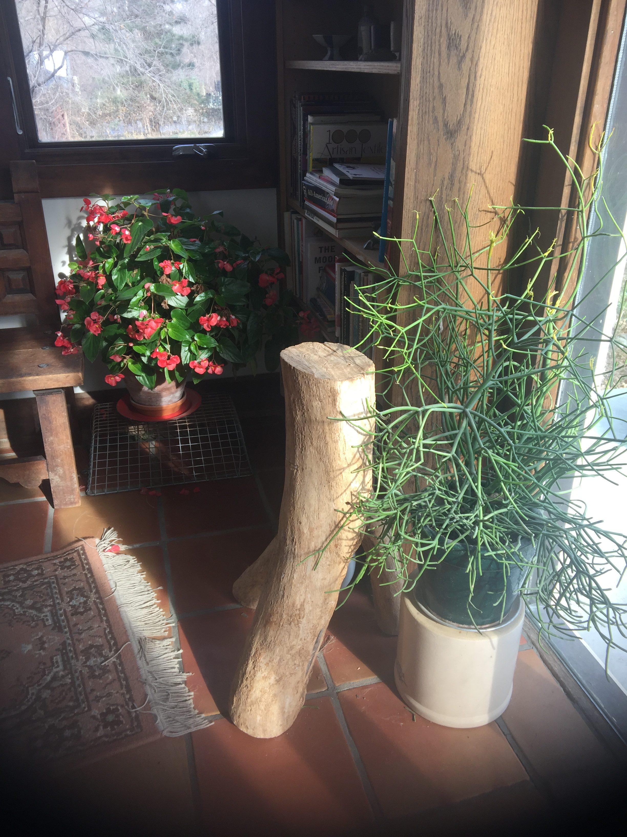 Indoor gardening in winter vinland valley nursery firesticks in the foreground really color up with new growth in winter red flowering begonia blooms through the winter both prefer to run dry workwithnaturefo