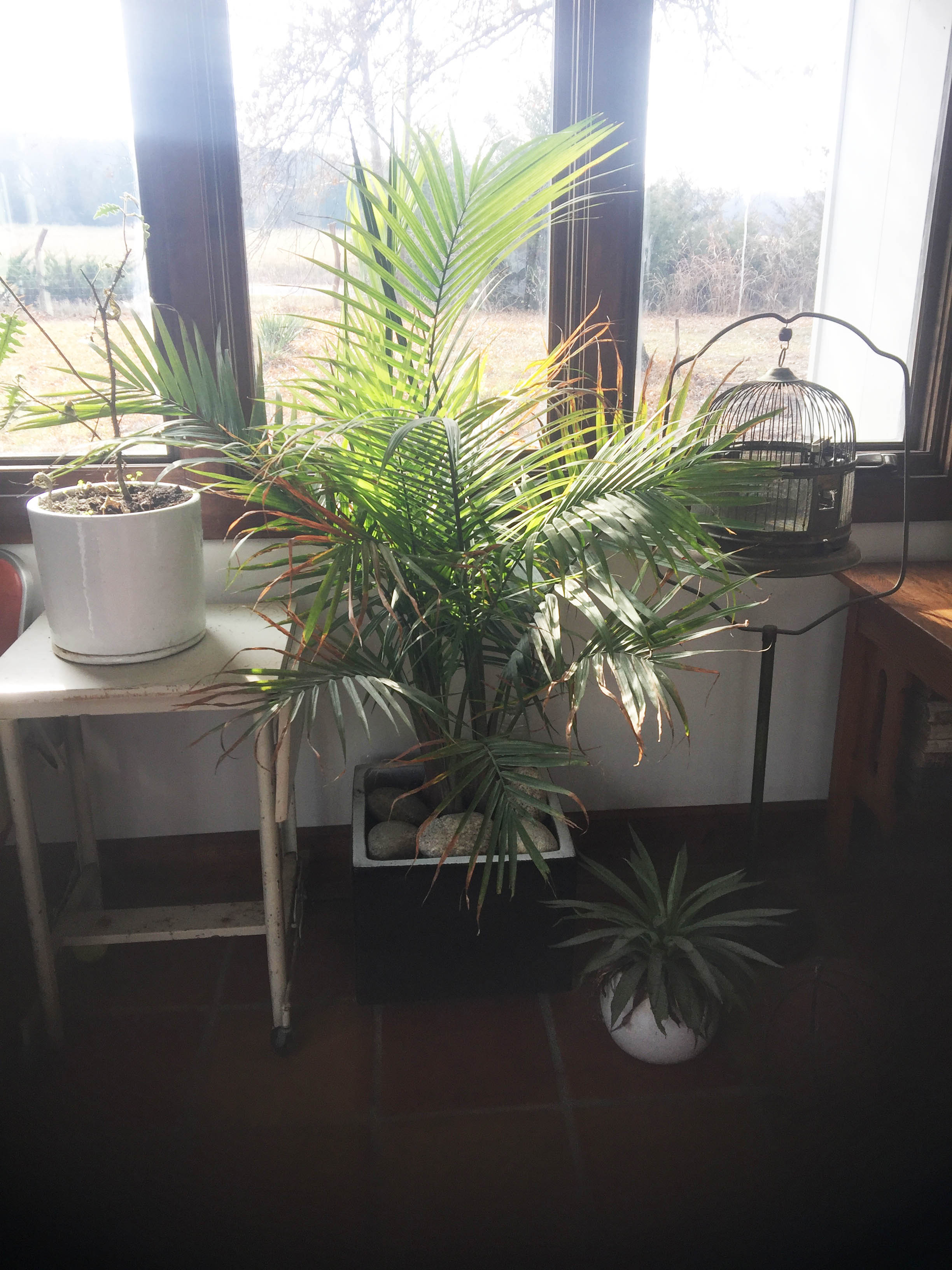 Indoor gardening in winter vinland valley nursery another agave sits beneath our new palm well have small palms available this spring the white pot on the typing table holds a porcupine tomato solanum workwithnaturefo