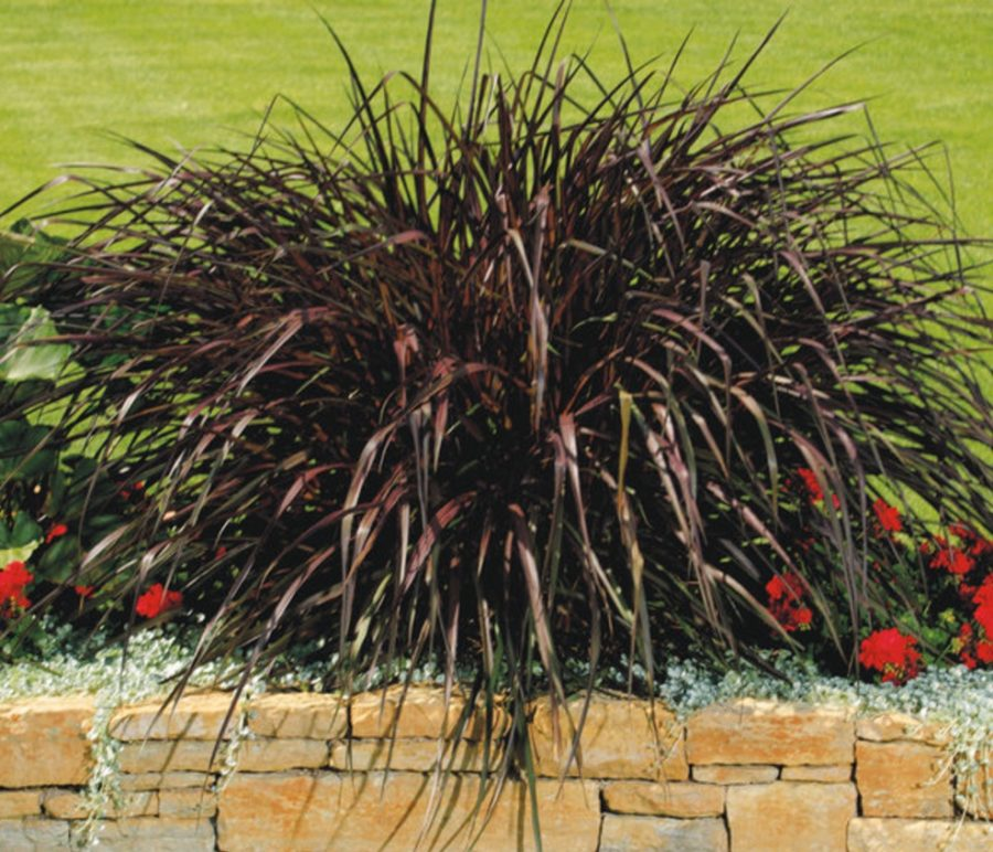 Purple Fountain Grass Vertigo Vinland Valley Nursery